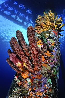 Stove Pipe Sponge (Aplysina archeri) group covering pier, Bonaire, Caribbean