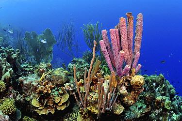 Stove Pipe Sponge (Aplysina archeri) in coral reef, Bonaire, Caribbean