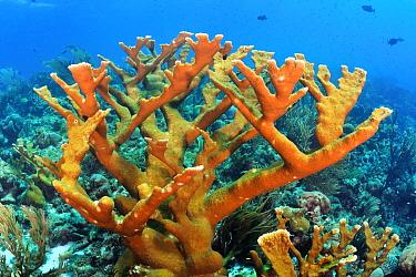 Elkhorn Coral (Acropora palmata), Bonaire, Caribbean