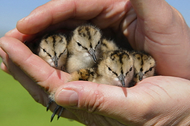 Common Redshank (Tringa totanus) chicks saved from mowing activities, Hei-en Boeicop, Netherlands