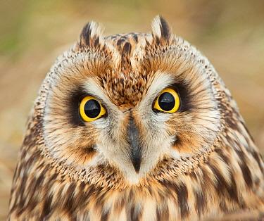 Short-eared Owl (Asio flammeus), Netherlands