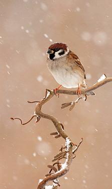 Eurasian Tree Sparrow (Passer montanus) on Hazelnut (Corylus sp) during snowfall, Netherlands