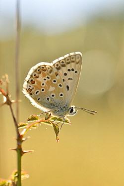 Chalkhill Blue (Polyommatus coridon) butterfly, Sisteron, France