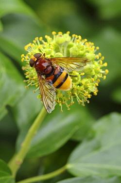 Hornet Mimic Hoverfly (Volucella zonaria), Middelburg, Netherlands