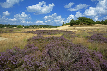 Flowering heathland, Loonse En Drunense Duinen National Park, Drunen, Netherlands