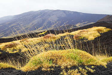 Grass growing on recent lava fields on the east side of Mount Etna, Sicily, Italy