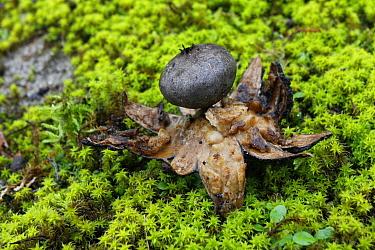 Earthstar (Geastrum coronatum) decaying mushroom, Katwijk aan Zee, Netherlands