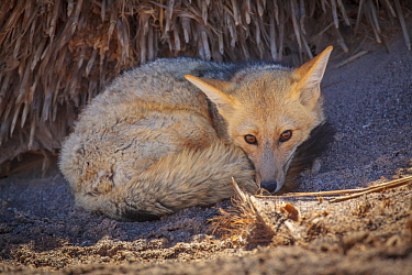 Andean Red Fox (Pseudalopex culpaeus), Catamarca, Argentina