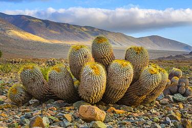 Cactus (Copiapoa cinerea), Atacama Desert, Paposo, Chile
