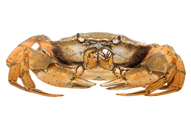 Common Shore Crab (Carcinus maenas), Texel, Netherlands
