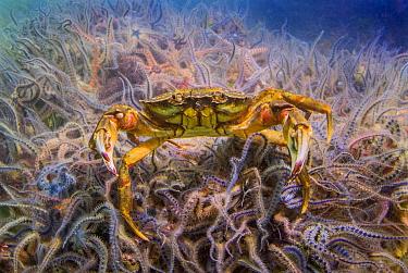 Common Shore Crab (Carcinus maenas) and brittlestars, Burghsluis, Netherlands