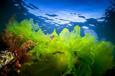 Sea Lettuce (Ulva lactuca), Dreischor, Netherlands