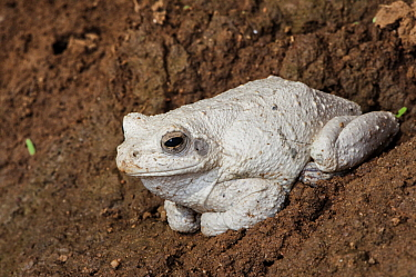 Grey Tree Frog (Chiromantis xerampelina), Marakele National Park, Limpopo, South Africa