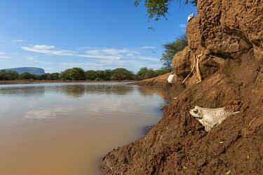 Grey Tree Frog (Chiromantis xerampelina) on shore of waterhole, Marakele National Park, Limpopo, South Africa