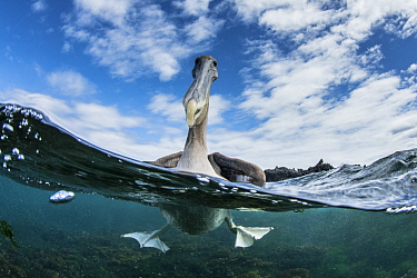 Brown Pelican (Pelecanus occidentalis) on water, Urbina Bay, Isabela Island, Galapagos Islands, Ecuador