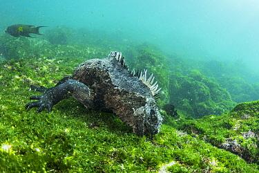 Marine Iguana (Amblyrhynchus cristatus) grazing on algae, Fernandina Island, Galapagos Islands, Ecuador