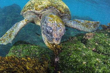 Pacific Green Sea Turtle (Chelonia mydas agassizi) grazing on algae, Floreana Island, Galapagos Islands, Ecuador