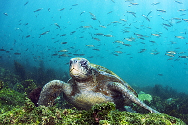 Pacific Green Sea Turtle (Chelonia mydas agassizi) and baitfish, Punta Moreno, Isabela Island, Galapagos Islands, Ecuador