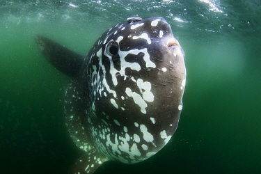 Southern Ocean Sunfish (Mola ramsayi), Punta Vicente Roca, Isabela Island, Galapagos Islands, Ecuador
