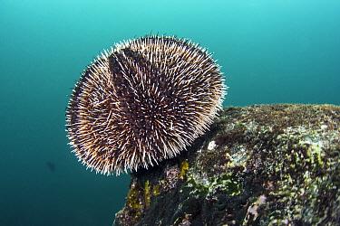 Brown Urchin (Tripneustes depressus), Tower Island, Galapagos Islands, Ecuador