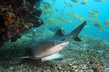 White-tip Reef Shark (Triaenodon obesus), Rabida Island, Galapagos Islands, Ecuador
