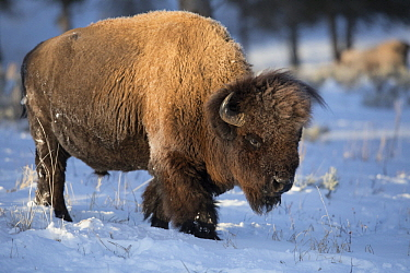 American Bison (Bison bison) in winter, Yellowstone National Park, Wyoming