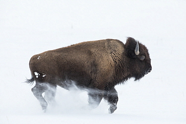 American Bison (Bison bison) running in snow, Lamar Valley, Yellowstone National Park, Wyoming