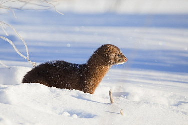 American Mink (Neovison vison) in snow, Sax-Zim Bog, Minnesota