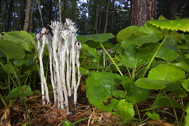 One-flower Indian-pipe (Monotropa uniflora) mushrooms in boreal forest, Minnesota