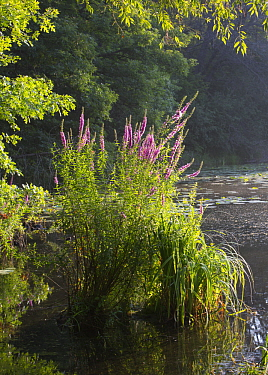 Purple Loosestrife (Lythrum salicaria), invasive plant flowering in lake, Lebanon Hills Regional Park, Minnesota