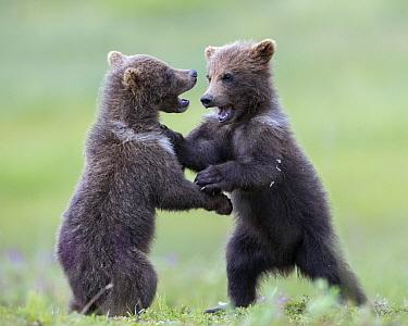 Brown Bear (Ursus arctos) cubs play-fighting, Katmai National Park, Alaska