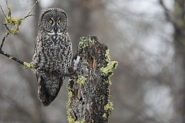 Great Gray Owl (Strix nebulosa), Sax-Zim Bog, Minnesota