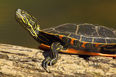 Painted Turtle (Chrysemys picta) basking, Boundary Waters Canoe Area Wilderness, Minnesota