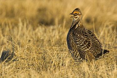 Greater Prairie Chicken (Tympanuchus cupido) male calling at lekk, Barnesville, Minnesota