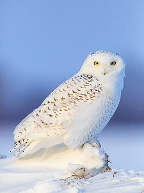 Snowy Owl (Nyctea scandiaca) in winter, Vermillion, Minnesota