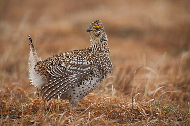 Sharp-tailed Grouse (Tympanuchus phasianellus), Crex Meadows Wildlife Area, Wisconsin