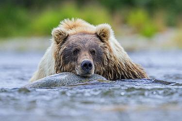 Brown Bear (Ursus arctos) resting in river, Katmai National Park, Alaska
