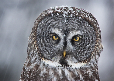 Great Gray Owl (Strix nebulosa) during snowfall, Sax-Zim Bog, Minnesota