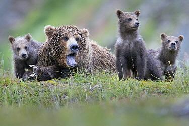 Brown Bear (Ursus arctos) yawning mother and cubs, Katmai National Park, Alaska