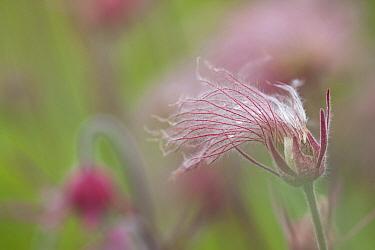 Prairie Smoke (Geum triflorum) seed head, Barnesville, Minnesota