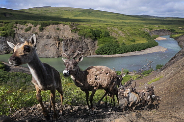 Caribou (Rangifer tarandus) females and juveniles, from the Porcupine herd, migrating, Blow River, Yukon, Canada