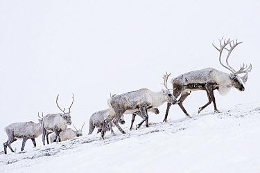 Caribou (Rangifer tarandus) females and males migrating to wintering grounds, northern Yukon, Canada
