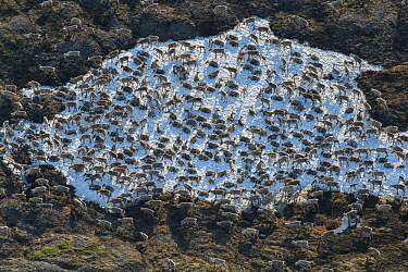 Caribou (Rangifer tarandus) aerial of the Porcupine herd resting in snow patch, Arctic National Wildlife Refuge, Alaska