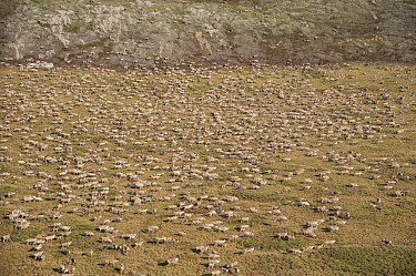 Caribou (Rangifer tarandus), aerial of the Porcupine herd migrating on tundra, Arctic National Wildlife Refuge, Alaska