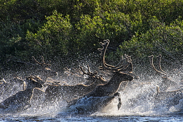 Caribou (Rangifer tarandus) bull and female, of the Porcupine herd, crossing river, Arctic National Wildlife Refuge, Alaska