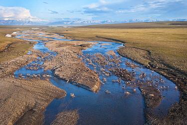 Caribou (Rangifer tarandus) aerial of the migrating Porcupine herd, crossing river, Arctic National Wildlife Refuge, Alaska