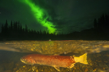 Chinook Salmon (Oncorhynchus tshawytscha) female spawning under northern lights in small tributary of Yukon River, Yukon, Canada