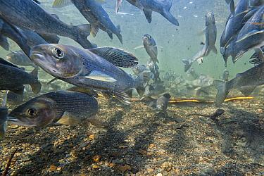Arctic Grayling (Thymallus signifer) gathering to spawn in small creek, Yukon, Canada