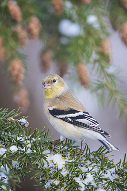 American Goldfinch (Carduelis tristis) in winter plumage, Troy, Montana