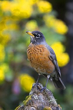 American Robin (Turdus migratorius), Troy, Montana